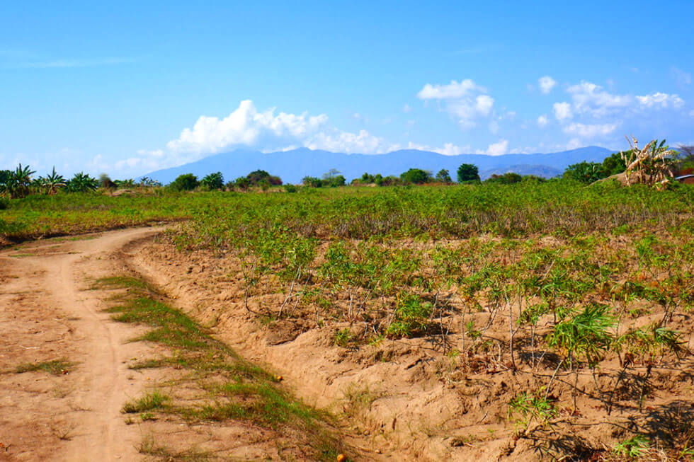 Beautiful cycle to work through the cassava fields!
