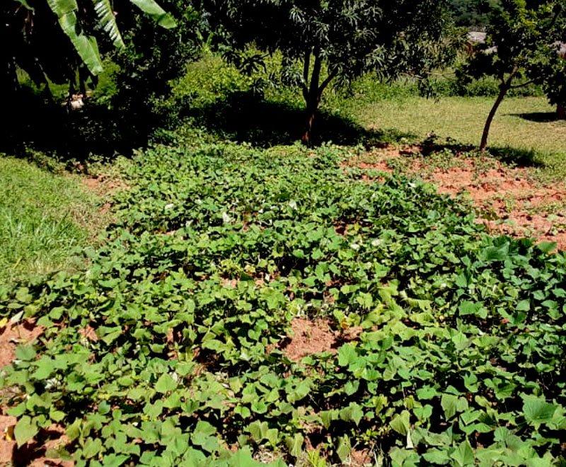 Sweet-Potato-Farming-4
