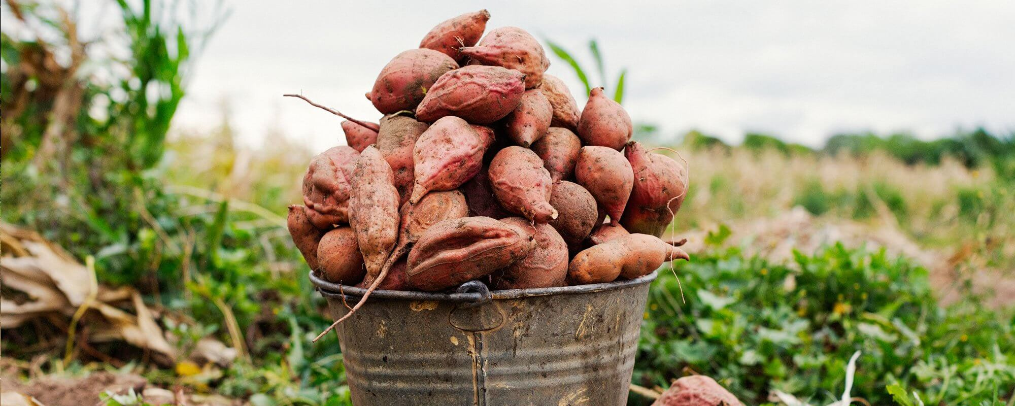 A bucket of sweet potatoes recently harvested in Malawi