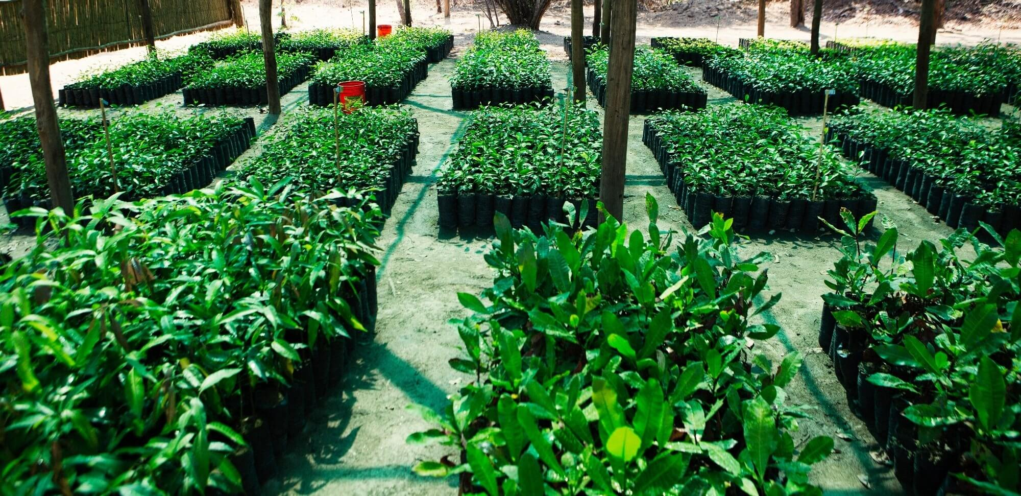Tree nursery for tree planting in Malawi