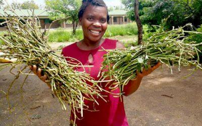 Bundles of sweet potato vines delivered