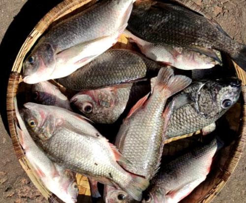Big chambo fish for sale in Malawi