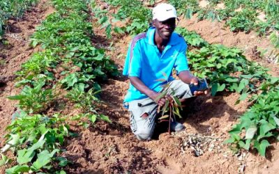Farming sweet potato and trees