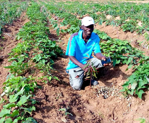 Farmers plant their trees amongst their sweet potato plants
