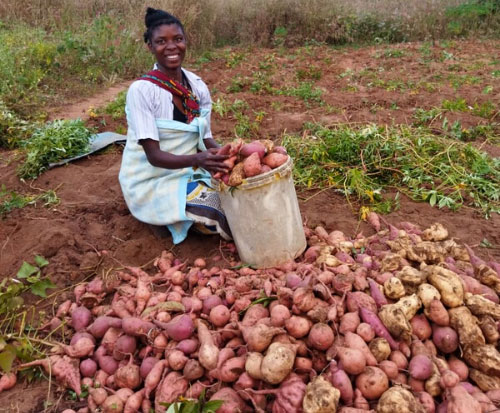 Farming potatoes and pigs