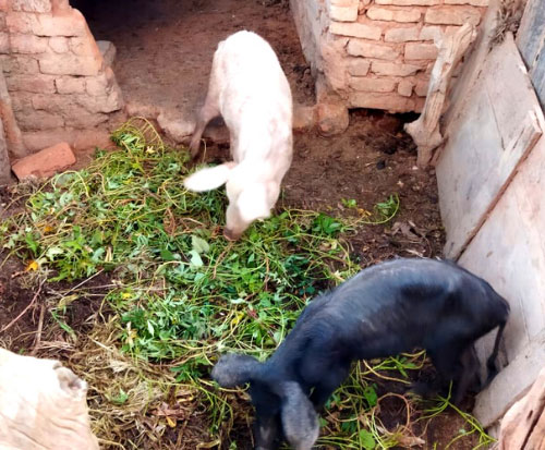 Two pigs eating in their pen in Malawi