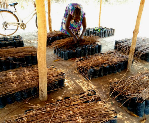A fruit tree grower covers tangerines with dry grass to speed up germination in Malawi